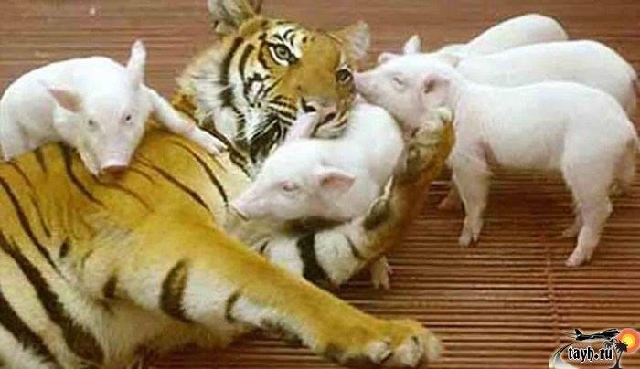 Тигровый зоопарк.Паттайя.Тайланд