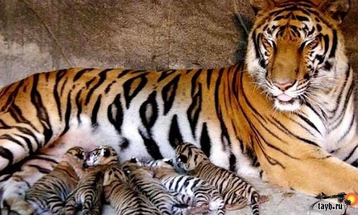Тигровый зоопарк.Sriracha Tiger Zoo.Паттайя.Тайланд