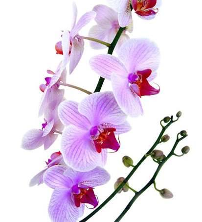 орхидеи в Тайланде