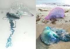 Медузы на Пхукете. Тайланд
