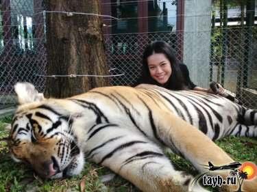 фото с тигром Тайланд