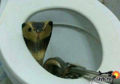 кобра в туалете